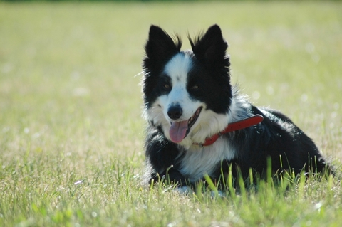 Frank the border collie