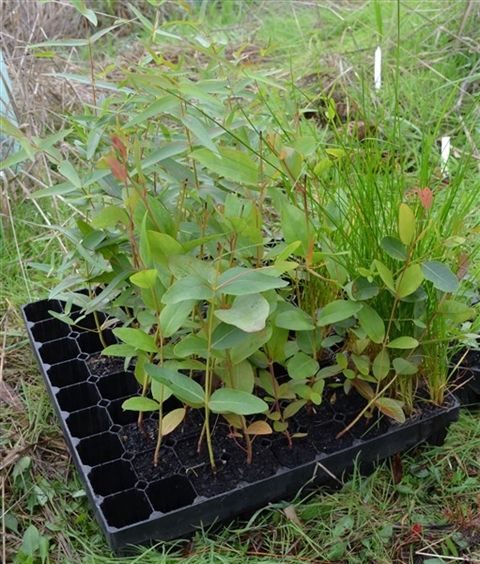 Native seedlings